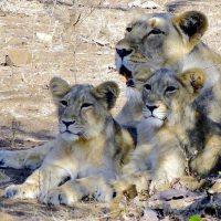 Lioness Medicine